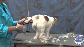 Doing a Personality Trim on a Pet Japanese Chin
