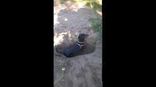 собака копает яму под себя