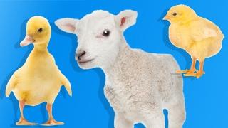 Yavru Çiftlik Hayvanlarını Öğreniyoruz | Çocuklar İçin Hayvanlar | Eğitici Video