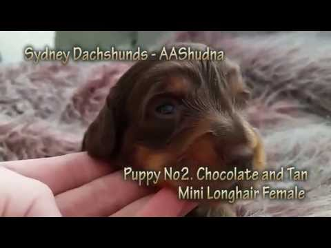 Dachshund Puppy Chocolate And Tan Mini Longhair From Western Sydney, Australia