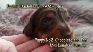 Dachshund Puppy Chocolate And Tan Mini Longhair From Western Sydney, Australia