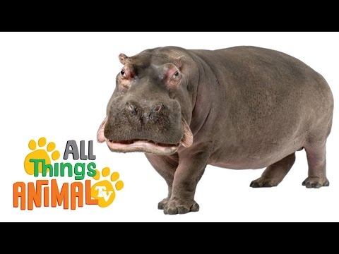 Thumbnail: HIPPOS: Animals for children. Kids videos. Kindergarten | Preschool learning