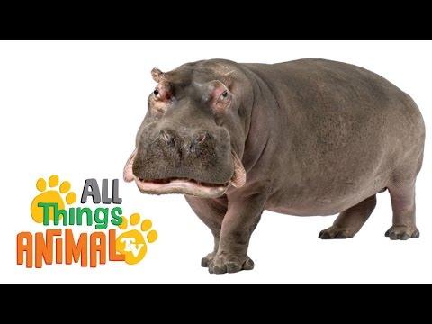 HIPPOS: Animals for children. Kids videos. Kindergarten | Preschool learning