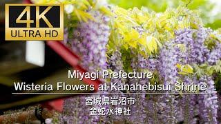 4K UHD Miyagi Prefecture Wisteria Flowers at Kanahebisui Shrine 金蛇水神社