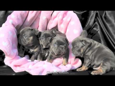 Blue Fawn French Bulldog Puppies For Sale