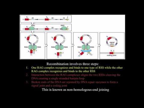 Immunology: BCR/ antibody genetic diversity mechanisms