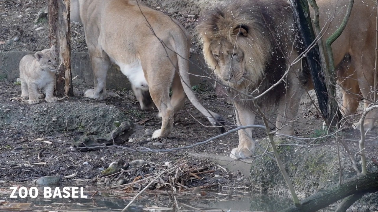 Playmobil Tiere Zoo Afrika Tierpark  Löwe Raubtiere 3 Löwen Löwin