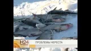 Сезон нереста под угрозой(На 19 марта, уровень воды в Рыбинском водохранилище составил 99,82 метра по балтийской системе. Это недостаточ..., 2014-03-19T15:45:38.000Z)