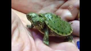 Черепаха с двумя головами родилась в зоопарке США (новости)