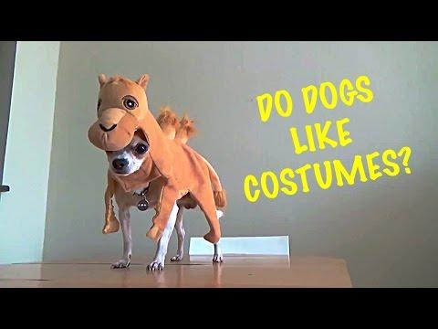 Do chihuahuas like costumes?