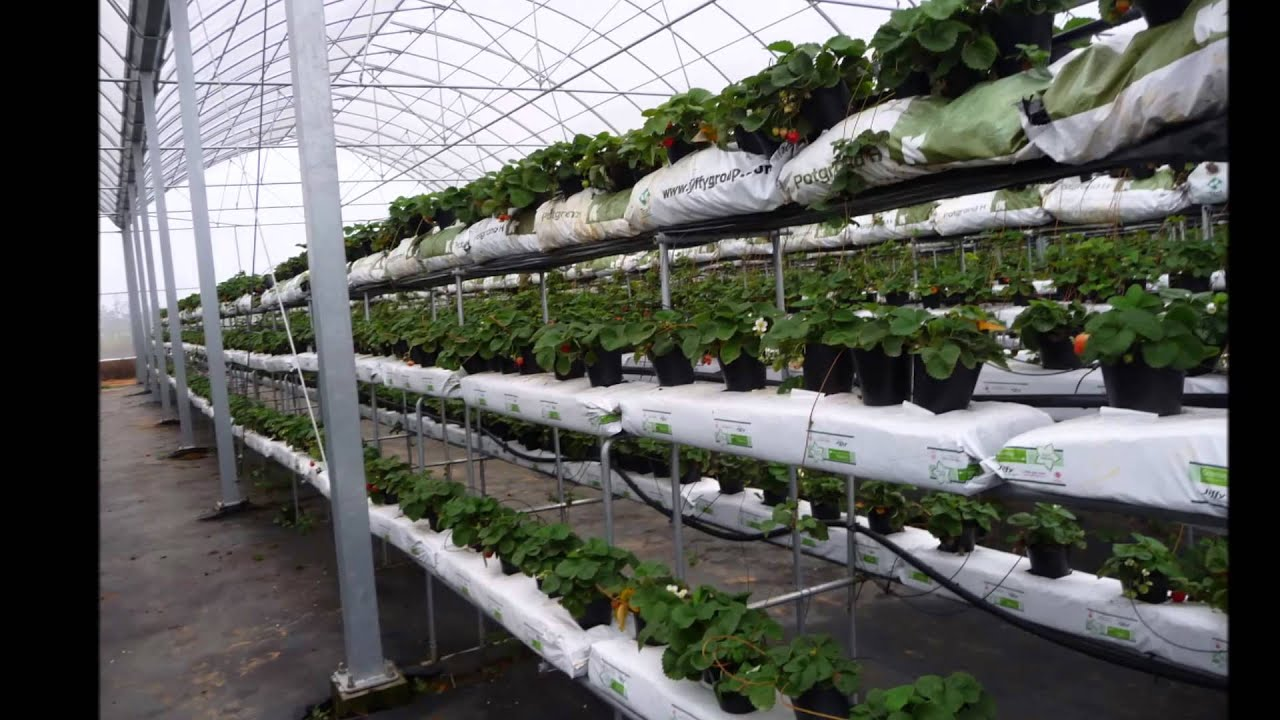 Hydroponic Substrate Growing Strawberry Youtube