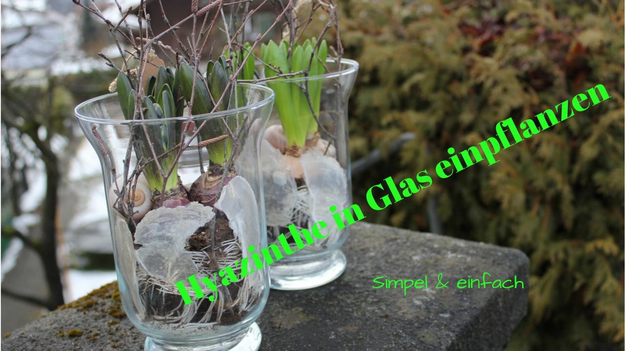 DIY: Hyazinthe Schlicht & Einfach In Glas Eintopfen / Die