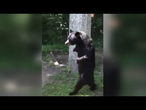 Bear Who Walks On Two Legs Is Back To Strolling Around The