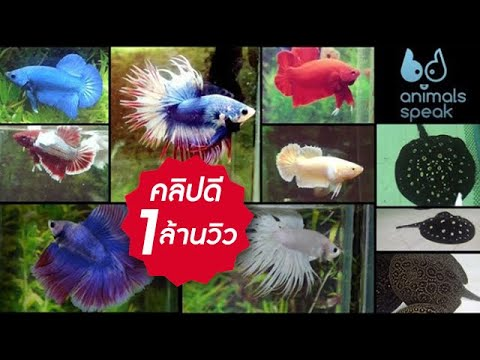 Animals Speak [by Mahidol] สนุกกับสีปลากัด ตะลึงสารพัดลายกระเบน (22 มิถุนายน 2557)