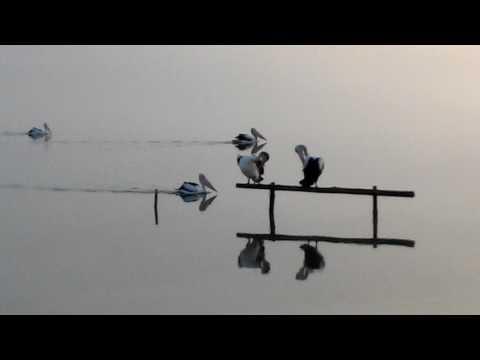 Pelikans. Lake Albert. Australia.