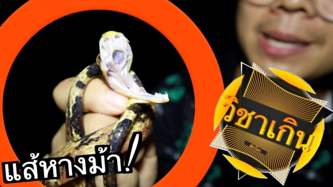 งูแส้หางม้า! : วิชาเกินสัตว์โลก[Outing] ไปเดินหากุ้งแต่เจองูซะงั้น!