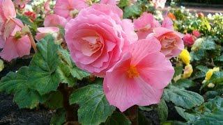 Бегония Клубневая. Уход и размножение бегонии клубневой.(Клубневые бегонии цветут обильно и ярко, их роскошные цветки напоминают розы, гвоздики, камелии или пионы...., 2015-06-10T19:17:58.000Z)