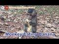 Monkey Eating Banana in Cambodia 2018