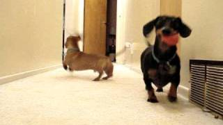 Dachshunds Playing Ball