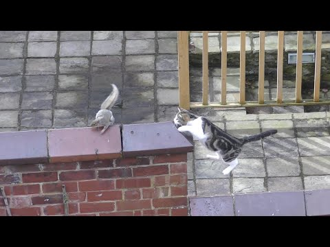 Cat Vs Squirrel – 4K Ultra HD 2160p Resolution Video
