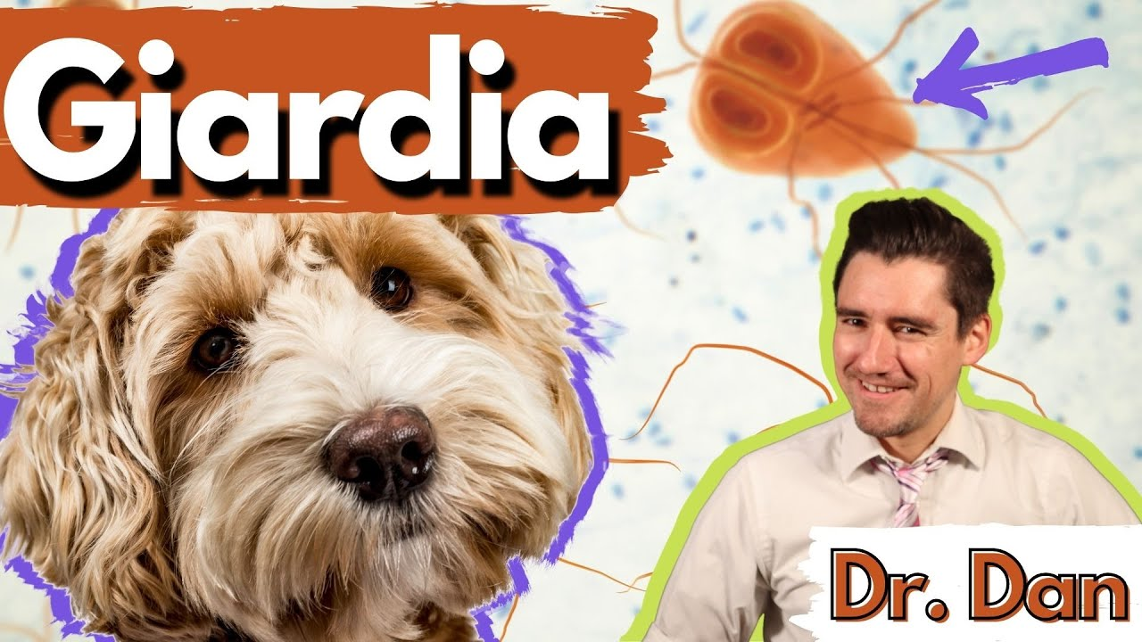 Giardia in the dog and cat.  Dr. Dan- what giardia is, giardia symptoms, diagnosis, and treatment