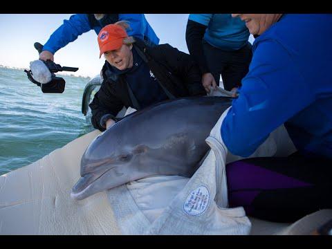 Salem the bottlenose dolphin at Mote Marine Laboratory