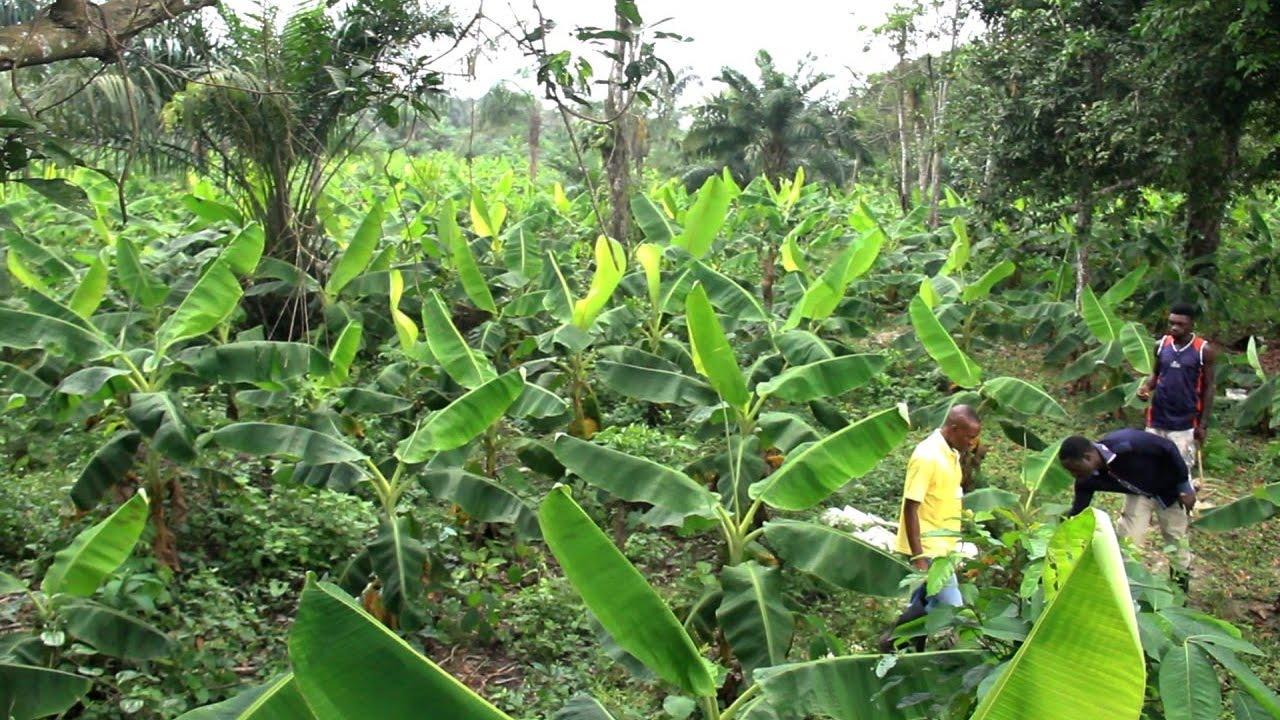 preparing your plantain farm for better yield youtube