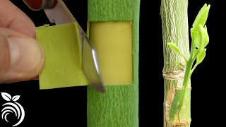 Download lagu Grafting Citrus Trees with the Patch Bud - Making a Fruit Cocktail Tree