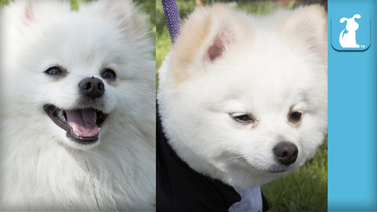 Fluffy Pomeranian Gets Boo Haircut The Beauty Of Pets Youtube