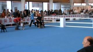 Iberima Australian Silky Terriers.international Dog Show Otoño 2011.
