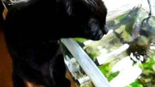 黒猫@熱帯魚の水を飲む