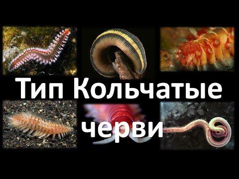 8. Кольчатые черви (7 класс)