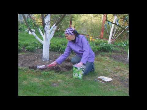 Подкармливаем плодовые деревья