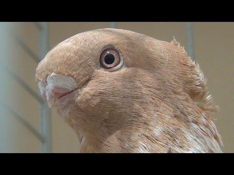Pigeon Blondinette liseré jaune - Oriental Frill - Orientalische Mövchen