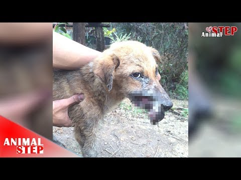 Rescue of a Homeless Dog with the large wound on His Right face