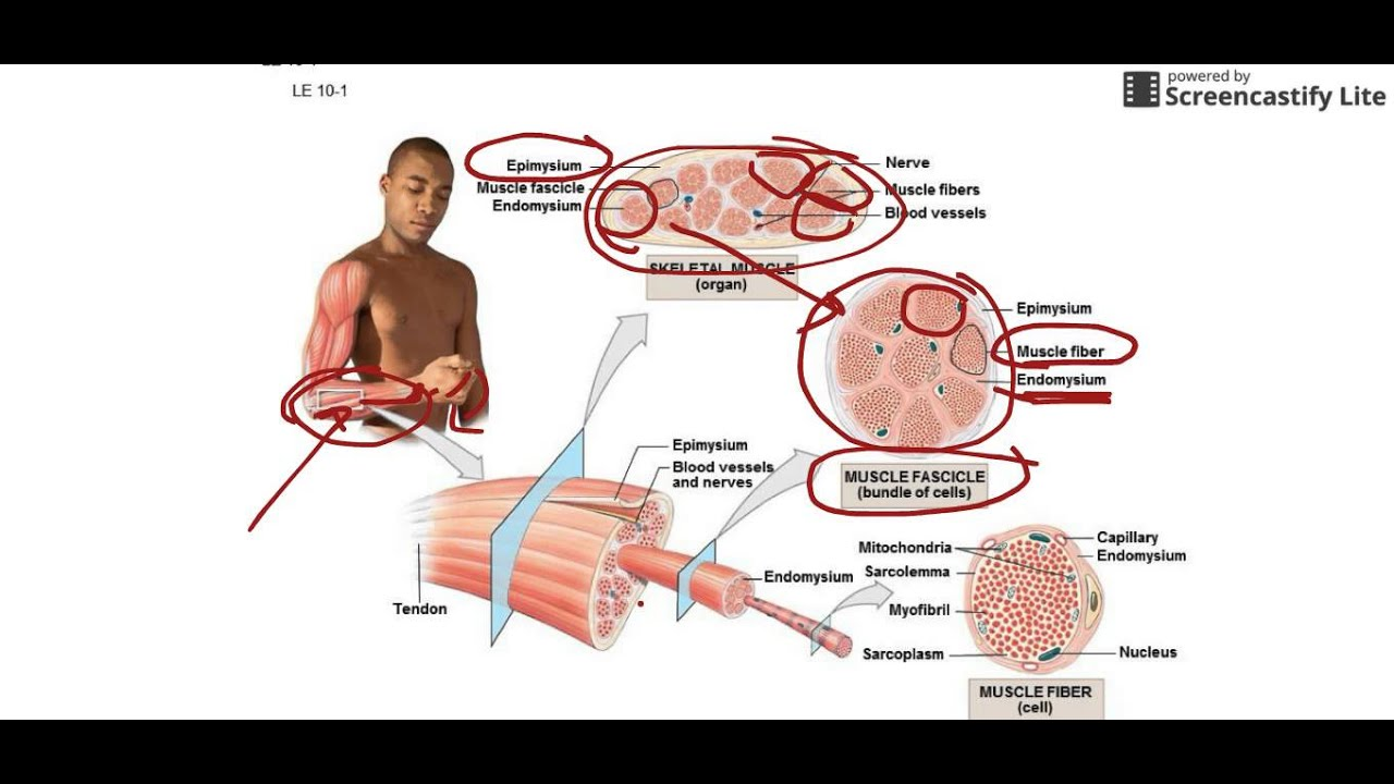 Muscle and Muscle Fiber Anatomy.webm - YouTube