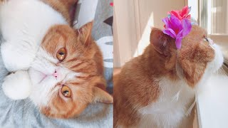Exotic Shorthair   One of Popular Cat Breed