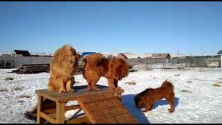 ТИБЕТСКИЕ МАСТИФЫ  ИЗ БЕЛОГО ЛЕКАРЯ.  Есть щенки. http://beliy-lekar.ru/