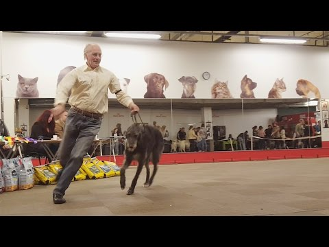 ДИРХАУНД. Выставка борзых. Апрель 2016 | DEERHOUND. Sighthound dog show. April 2016