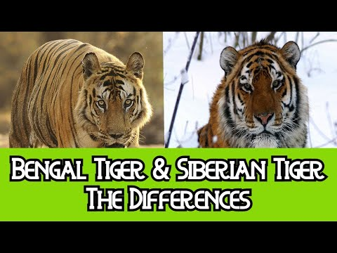 Bengal Tiger & Siberian Tiger - The Differences