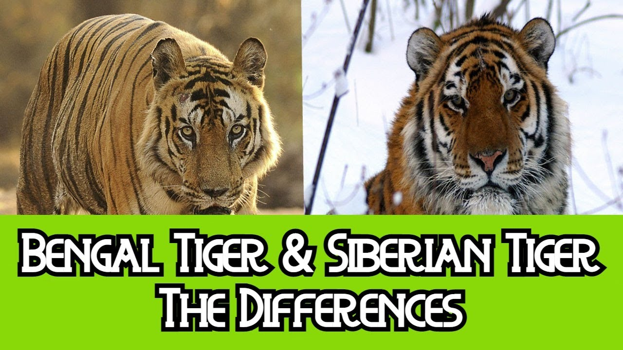 Bengal Tiger & Siberian Tiger - The Differences - YouTube