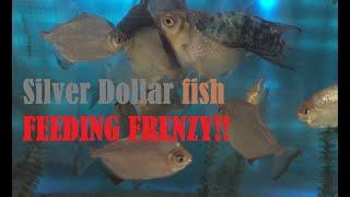 Silver dollar fish school being tweezer-fed; EATING FEEDING FRENZY!!