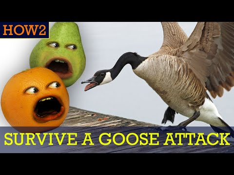 how2:-how-to-survive-a-goose-attack!