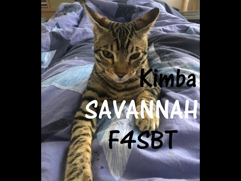 Our F4SBT boy, Savannah Cat, 8 months old, purrs and enjoys being caressed while he is relaxing