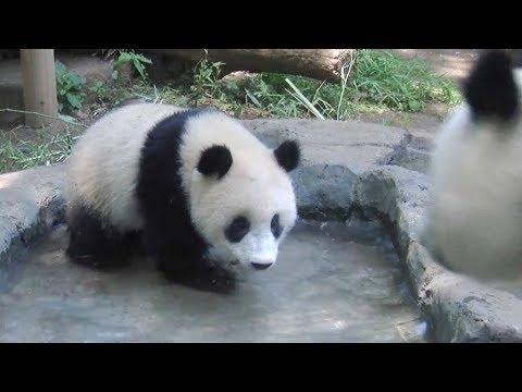 シャンシャン、水浴び=ジャイアントパンダ(343日齢)の映像