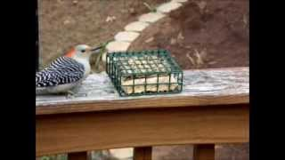 Bluebird And Woodpeckers At Suet Feeder 11 20 2013