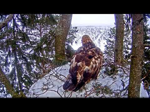 Golden Eagle Nest - Estonia - Both adults at the nest - 2-25-18