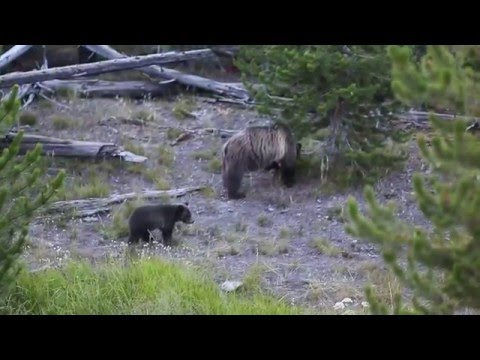 Grizzly in Yellowstone 그리즐리베어