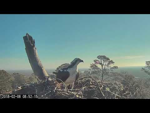 Osprey Brings Stick To Savannah Nest (Fixed Cam View) – Feb 6, 2018