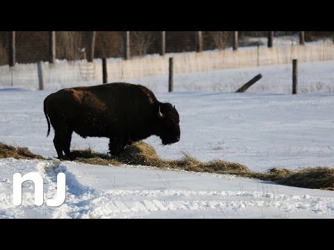 Bison in New Jersey? Yes.